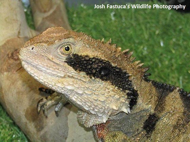Australische_Wasseragame_Josh_Fastucas_Wildlife_Photography_Facebook