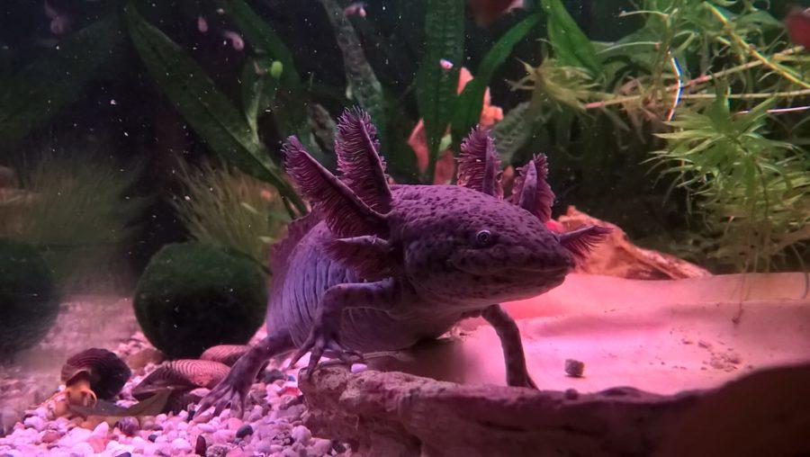 Axolotl_Kerstin_Hubert_Fricke_Email