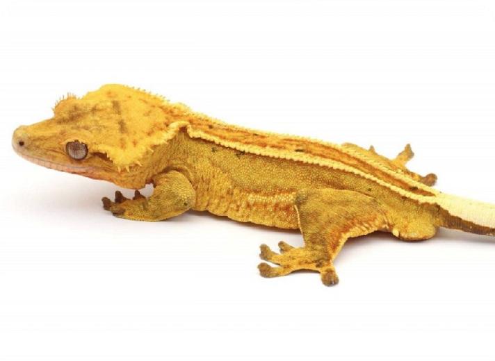 Correlophus_ciliatus_Rheingau_Geckos_Email
