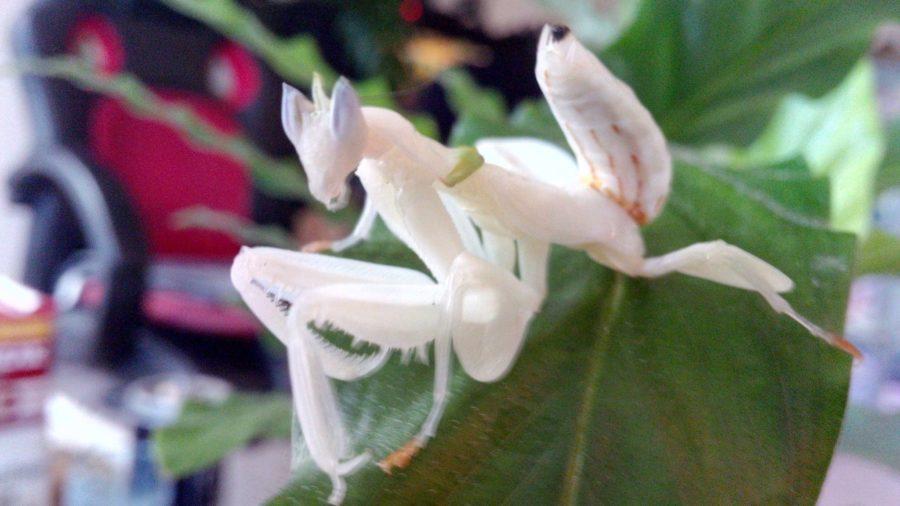 Orchideenmantis_Kay_Liebal_Facebook
