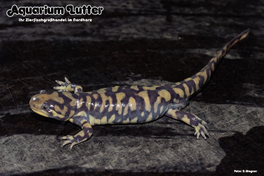 Tigersalamander_Norman_Dresler_Email
