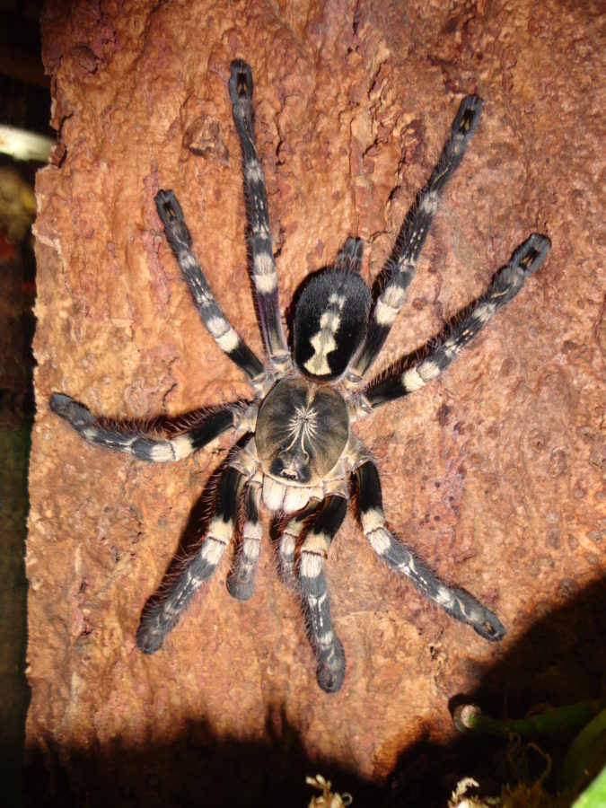 Poecilotheria_spec_lowland_Patrick_Meyer_Pat_Email