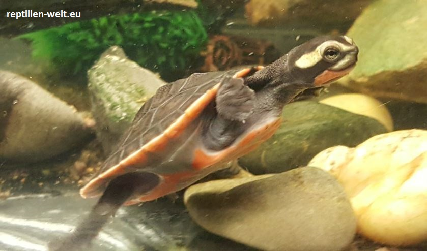 Rotbauch Spitzkopfschildkröte_Emydura subglobosa