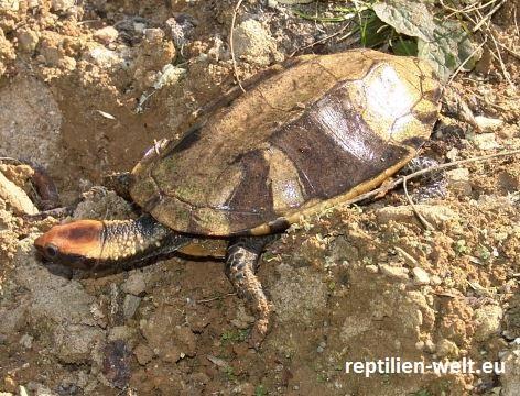 Rotkopf Plattschildkröte_Platemys platycephala