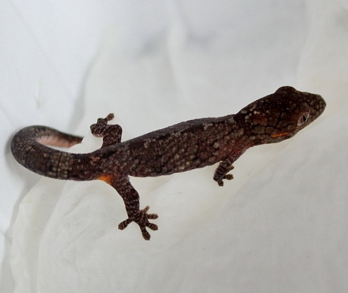 Bauers_Chamäleon_Gecko_Eurydactylodes_agricolae_Rheingau_Geckos_Email