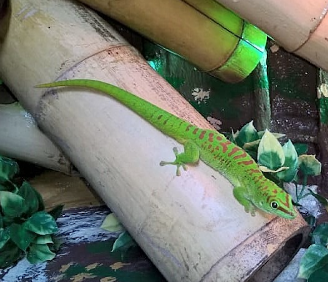 Grosser_Madagaskar_Taggecko_Phelsuma_grandis_Rheingau_Geckos_Email