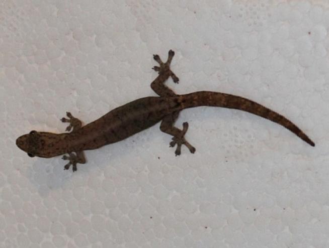 Halbblattfingergecko_Hemiphyllodactylus_typus_Rheingau_Geckos_Email
