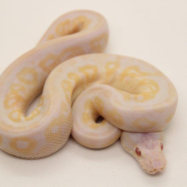Pewter-Albino-pos.-Bamboo-3