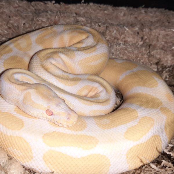 Albino-kö