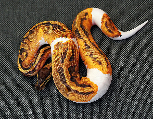 Fire-Pied